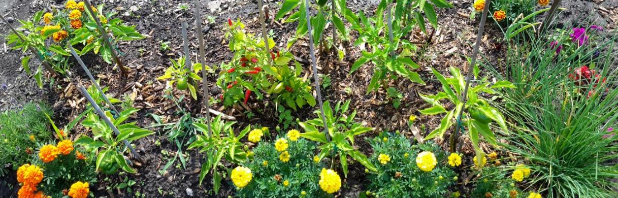Figure 1 : De la diversité sur le jardin communautaire de Saint-Sulpice (Ahuntsic-Cartierville) !