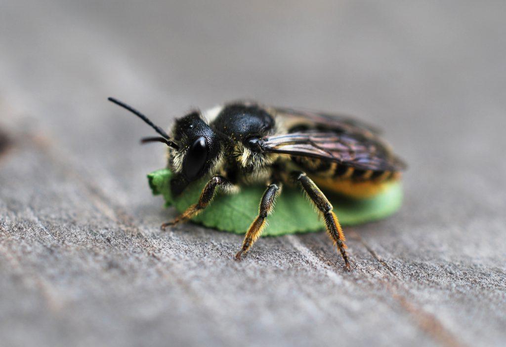 trousse-pollinimini-abeille-indigene-sur-feuille