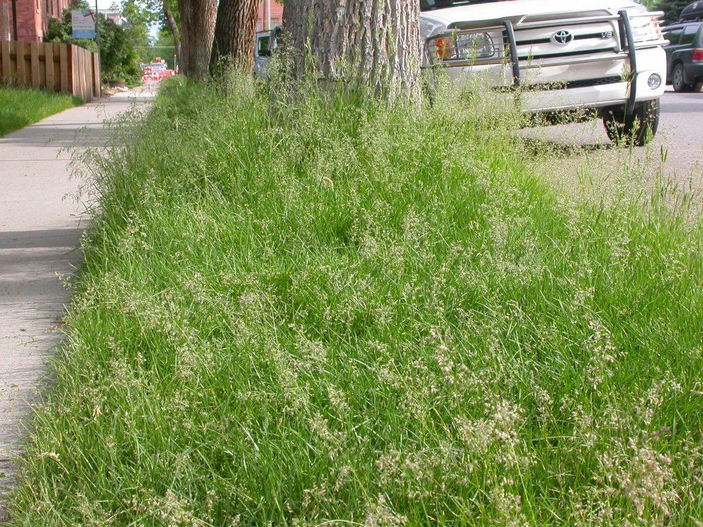Inflorescences du pâturin des prés (Poa pratensis), une graminée très commune dans les pelouses.