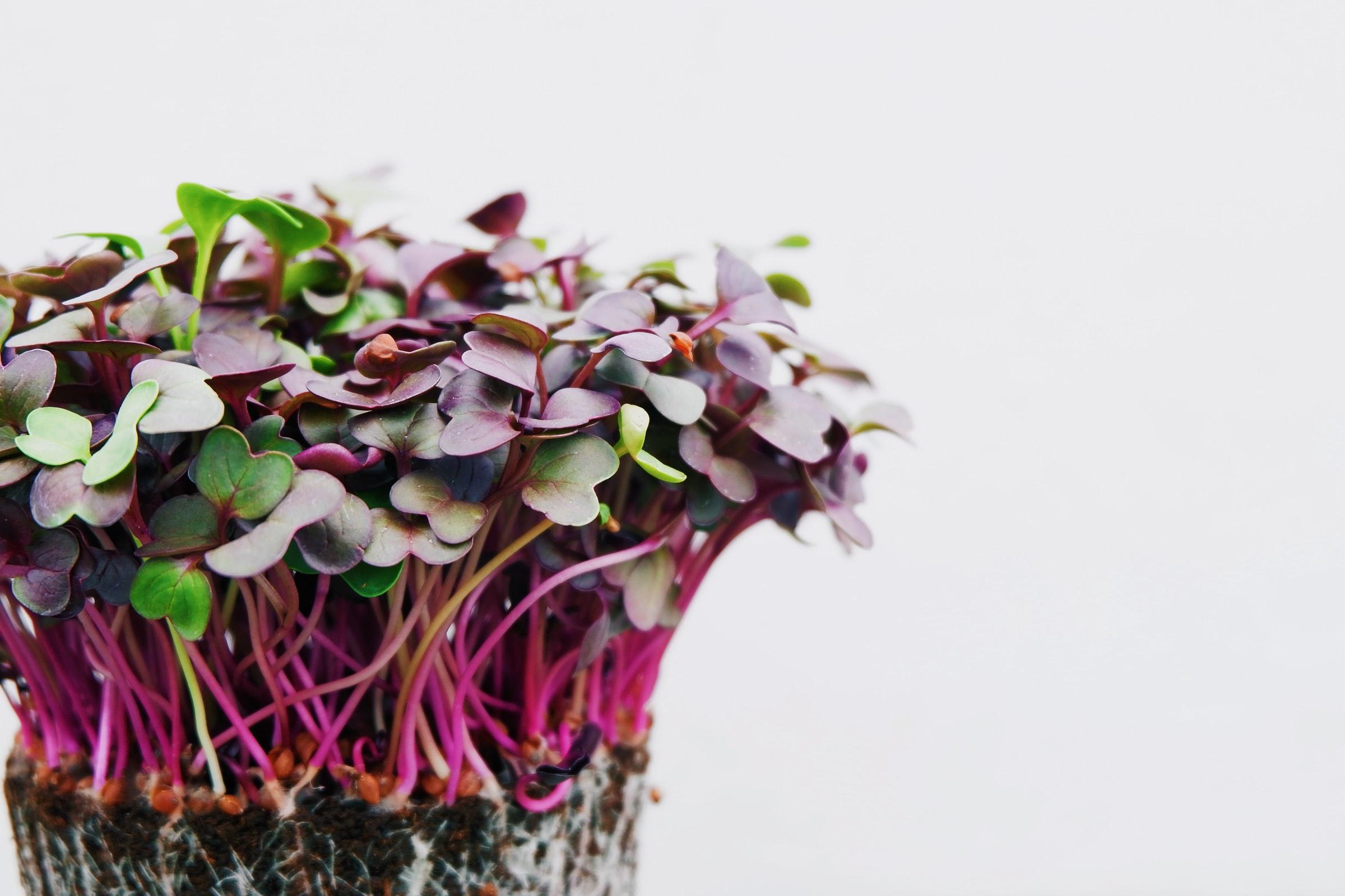 red brassica micropousses germinations jeunes pousses