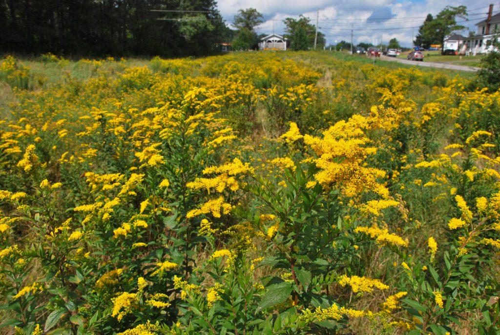 Un champ de verges d'or : des plantes trop souvent accusées de causer des allergies respiratoires. Photo : Marc Sardi