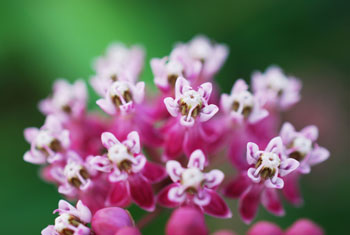 Fleurs magenta