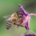 pollinisateur fleurs