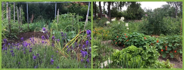 Des fleurs pour attirer les auxiliaires de culture sur le jardin communautaire d'Ahuntsic (Montréal)