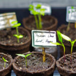semis poivron